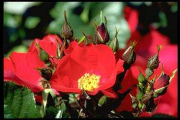 Strauchrose | Rot | 150-200 cm