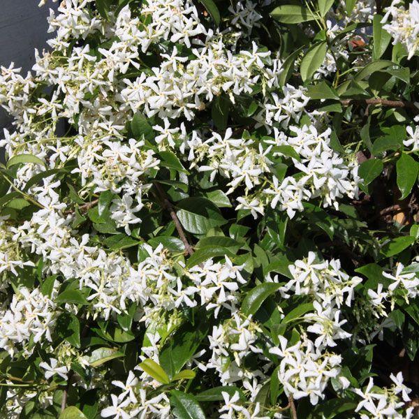 Trachelospermum jasminoides / Sternjasmin Container 5 Liter/Conteneur 5 litres 60/80