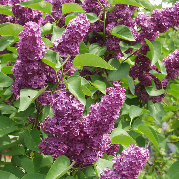 syringa vulgaris 39 ludwig spaeth 39 gew hnlicher flieder pflanze im topf plante en pot 80 100. Black Bedroom Furniture Sets. Home Design Ideas
