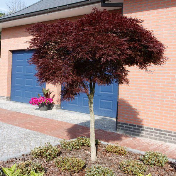 Acer palmatum 'Garnet Tige' / Japan. Ahorn, Fächerahorn Cont. 7.5 Liter, Stamm/Cont. 7.5 litres, tig