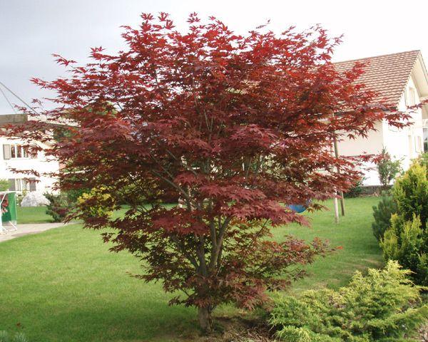 Etwas Neues genug Acer palmatum 'Atropurpureum' / Japan. Ahorn, Fächerahorn Pflanze #XZ_17