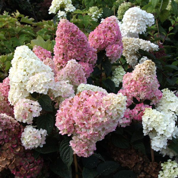 Hydrangea paniculata 'Sundae Fraise' / Rispen-Hortensie Pflanze im Topf