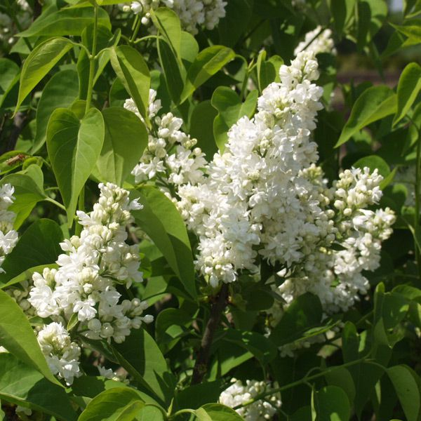 syringa vulgaris 39 mme lemoine 39 gew hnlicher flieder pflanze im topf plante en pot 80 100. Black Bedroom Furniture Sets. Home Design Ideas
