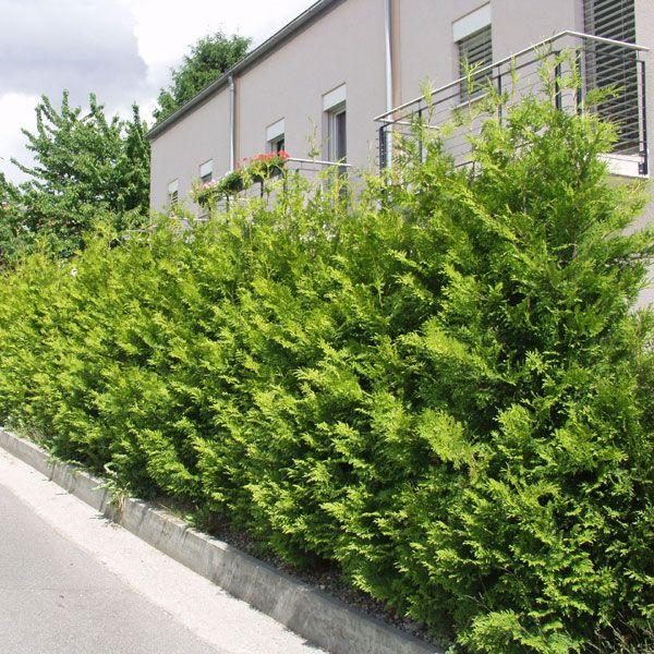 Heckenpflanzen Thuja Brabant Container