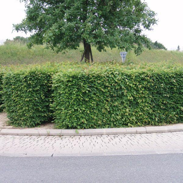 Carpinus betulus / Hainbuche Heckenpflanze im Container/Plante pour haies en conteneur 100/125