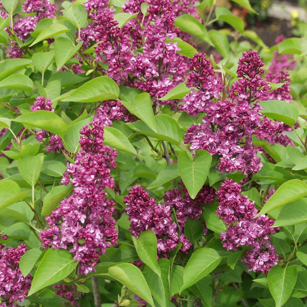 syringa vulgaris 39 charles joly 39 gew hnlicher flieder pflanze im topf plante en pot 80 100. Black Bedroom Furniture Sets. Home Design Ideas