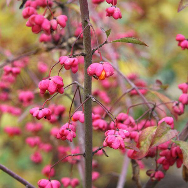 Euonymus europaeus / Pfaffenhütchen, Spindelstrauch Forstpflanzen in Container/Plante forestière en